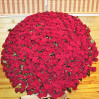 501 высокая красная роза украинского производства