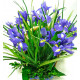 Bouquets with irises with delivery in Kiev